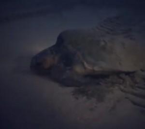 ウミガメ産卵20160801